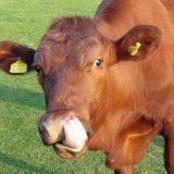Es una vaca roja metiendo la lengua en su nariz