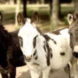 Son tres burros uno es de color negro otro blanco con manchas y el otro gris